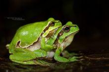 Hyla molleri, Rainette ibérique, Iberian tree frog, Ranita de San Antón, Matthieu Berroneau, France, amplexus, reproduction
