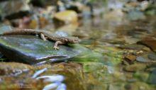 Calotriton asper, Pyrenean Brook Newt, Calotriton des Pyrénées, Euprocte, Matthieu Berroneau, torrent, ruisseau, stream
