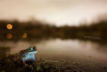 Epidalea calamita, Natterjack toad, toad, Crapaud calamite, Matthieu Berroneau, France, habitat, night, nuit, sky