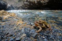 Bufo spinosus, Crapaud common, Crapaud épineux, Sapo, Common toad, Matthieu Berroneau, amplexus, reproduction, pyrénées, stream, ruisseau