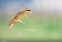 Palmate Newt, Lissotriton helveticus, forme pédomorphique, Triton palmé, phase aquatique, aquatic stage