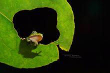 Leptopelis kivuensis, Ouganda, Kivu tree frog, Uganda, Matthieu Berroneau