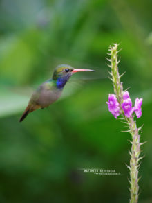 Colibri, Hylocharis eliciae, Matthieu Berroneau, Costa Rica