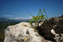 Saga natoliae, Anatolian Predatory Bush-cricket, Saga, Matthieu Berroneau