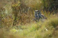Bubo bubo, Hibou grand-duc, Grand-duc d'Europe, Búho real, Eurasian Eagle-Owl, uhu,