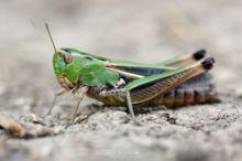 Stenobothrus lineatus, Matthieu Berroneau, Stripe-winged Grasshopper, Criquet de la Palène, Sténobothre ligné, Heidegrashüpfer, zoemertje, Saltamontes de ala Listada