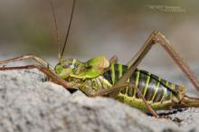 Ephippiger ephippiger, Éphippigère des vignes, Steppen-Sattelschrecke, Saddle-backed Bush Cricket, kobylka révová