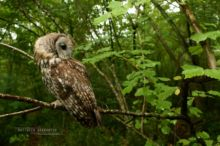 Chouette hulotte, Tawny Owl, Waldkauz, Cabrioila, Cárabo