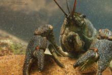 Ecrevisse à pattes blanches, Austropotamobius pallipes, Écrevisse à pieds blancs, White-clawed Crayfish, Atlantic Stream Crayfish, Dohlenkrebs, Lagostim-de-patas-brancas, Gambero di fiume