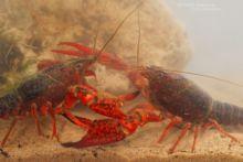 Ecrevisse de Louisiane, Procambarus clarkii, Red Swamp Crayfish, Roter Amerikanischer Sumpfkrebs, Gambero killer, Cangrejo americano, Lagostim-vermelho-do-Louisiana, Matthieu Berroneau