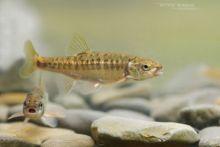 Vairon, Phoxinus phoxinus, Bitterfisch, Sanguinerola, Elritse, European Minnow