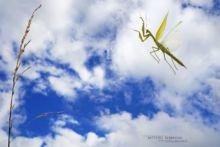 Mante religieuse, European Mantid, Mantis religiosa, en vol, vol, Matthieu Berroneau, sky, ciel, in flight