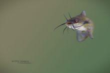 Poisson-chat commun, Ameiurus melas, Black bullhead, poisson, Matthieu Berroneau, France, exotic species, espèce éxotique