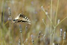 Papilio machaon, Common Swallowtail, Grand porte-queue, Macaón, Mariposa cometa macaón, flight, fly, vol, Matthieu Berroneau