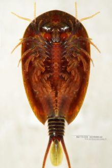 Lepidurus apus, Matthieu Berroneau, Frühjahrs-Rückenschaler, Frühjahrs-Schildkrebs, Golden Tadpole Shrimp, Schuppenschwanz, France, Matthieu Berroneau