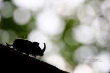 Oryctes nasicornis, European Rhinoceros Beetle, Scarabée rhinocéros européen, Nashornkäfer, Escarabajo rinoceronte europeo, Scarabeo rinoceronte