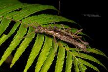 Hoploclonia gecko, Matthieu Berroneau, phasme, stick, insect, Gecko Stick Insect, Matthieu Berroneau, Malaysia, Malaisie