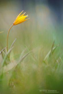 Tulipa sylvestris, Matthieu Berroneau, Tulipe sauvage