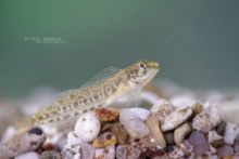 Blennie fluviatile, Salaria fluviatilis, Freshwater Blenny, Cagnetta, Caboz-de-água-doce, Matthieu Berroneau, poisson, fish