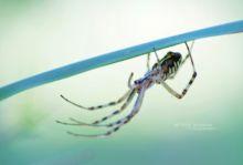 Argiope bruennichi, Argiope frelon, Épeire fasciée, Wasp Spider, Matthieu Berroneau