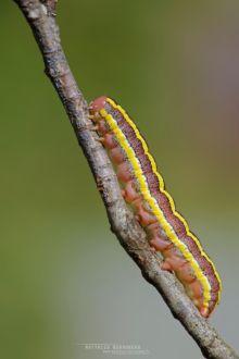 Noctuelle du pois , Broom Moth, Ceramica pisi, chenille, caterpillar, matthieu Berroneau