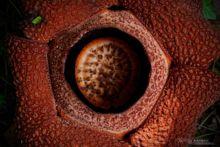 Rafflesia keithii, Malaysia, Malaisie, Borneo, Matthieu Berroneau