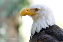 Haliaeetus leucocephalus, Pygargue à tête blanche, American Bald Eagle, Matthieu Berroneau, head, tête