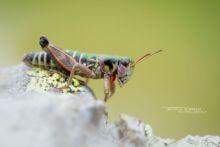 Miramelle pyrénéenne, Cophopodisma pyrenaea, insecte, criquet, sauterelle, endémique, Pyrénées, Matthieu Berroneau