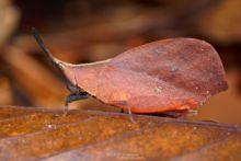 Systella rafflesii, Matthieu Berroneau, Borneo, Malaysia, Malaisie