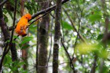 Rupicola rupicola, Matthieu Guyane, French Guiana, Guianan Cock-of-the-rock, oranssiharjakotinga, Coq-de-roche orange, Gallito de roca Guyanés