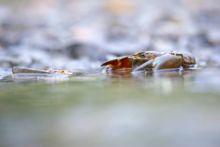 Ecrevisse du Pacifique, Ecrevisse Signal, Pacifastacus leniusculus, Signal Crayfish, Ecrevisse du Pacifique, Écrevisse signal, Lagostim-Sinal, Langostino de río, espèce exotique, exotic species