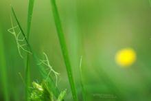 Clonopsis gallica, French stick insect, Phasme gaulois, Gallische wandelende tak, Matthieu Berroneau