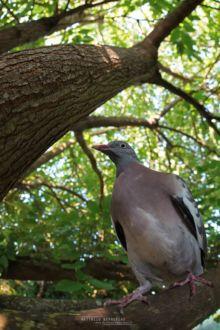 Pigeon ramier, Columba palumbus, Common Wood Pigeon