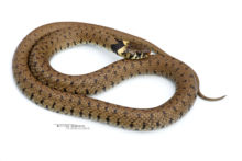 Natrix helvetica, Couleuvre à collier, Couleuvre helvétique, Grass snake, serpent, Matthieu Berroneau, fond blanc, white background