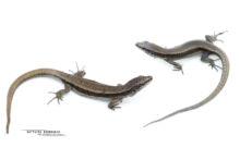 Pyrenean rock lizard, Iberolacerta bonnali, Lézard de Bonnal, Pyrénées, Matthieu Berroneau, fond blanc, white background, mâle, femelle, female, male