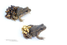 Alytes obstetricans, Alyte accoucheur, Crapaud accoucheur, Common Midwife Toad, Matthieu Berroneau, Sapo partero común, fond blanc, white background