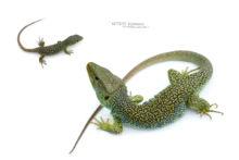 Timon lepidus, Lézard ocellé, Ocellated lizard, France, Lagarto ocellado, fond blanc, white background, young, juvenile, adult, male, adulte