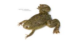 Xenopus laevis, South-African clawed frog, Xénope lisse, France, Matthieu Berroneau, fond blanc, white background, Invasive species, espèce exotique