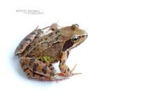 Rana temporaria, Grenouille rousse, Common Frog, Matthieu Berroneau, France, fond blanc, white background