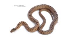Coronelle lisse, Smooth snake, Coronella austriaca, Matthieu Berroneau, France, fond blanc, white background