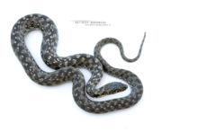 Natrix maura, Viperine snake, couleuvre vipérine, Matthieu Berroneau, white background, fond blanc