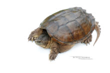 Chelydra serpentina, Tortue serpentine, Common snapping turtle, Chélydre serpentine, Matthieu Berroneau, fond blanc, white background