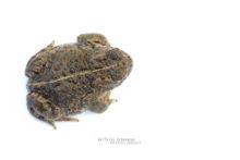 Epidalea calamita, Natterjack toad, toad, Crapaud calamite, Matthieu Berroneau, France, fond blanc, white background