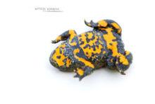 Bombina variegata, sonneur à ventre jaune, Yellow-bellied Toad, France, Matthieu Berroneau, fond blanc, white background