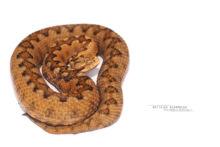 Vipère de Lataste, Vibora de lataste, Lataste's viper, viper, spain, espana, espagne, Matthieu Berroneau, fond blanc, white background