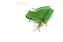 Hyla meridionalis, Rainette méridionale, Mediterranean tree frog, Stripeless Tree Frog, Ranita, Matthieu Berroneau, France, white background, fond blanc