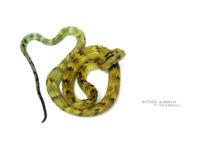 Atheris hispida, Uganda, Rough-scaled Bush Viper, Dragon, Matthieu Berroneau, fond blanc, white background