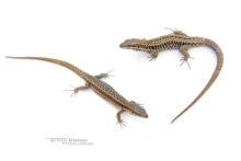 Podarcis muralis, Lézard des murailles, Common wall lizard, Matthieu Berroneau, couple, mâle, femelle, male, fond blanc, white background