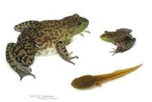 Lithobates catesbeianus, Grenouille taureau, Bullfrog, Ouaouaron, Matthieu Berroneau, France, fond blanc, white background, stage, stade, têtard, tadpole, Invasive species, espèce exotique