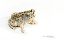 Pelobates cultripes, Western Spadefoot Toad, Pélobate cultripède, France, Matthieu Berroneau, white background, fond blanc